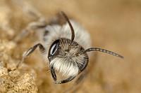 Wild bee (Andrena vaga)