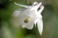 White aquilegia Aquilegia vulgaris, bloom
