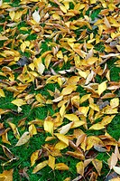 Cherrytree-leaves in autumn lying on the grass (Prunus avium)