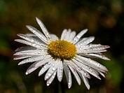 Lawn daisy (Bellis perennis), waterdrops