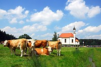 Cows, Bavaria, Germany