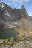 Endemic giant groundsel (Senecio keniodendron) at Hut Tarn lake with Point John (4883 m) in the background Mount Kenya National Park Kenya