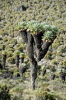 Giant groundsel (Dendrosenecio kilimanjari, Senecio ssp) near Camp Horombo Hut, Marangu Route, Kilimanjaro, Tanzania, East Africa