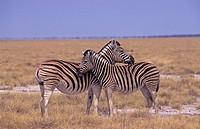 Plains Zebras (Equus quagga) Namibia, Africa
