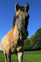 Konik horse - foal (Equus przewalskii f. caballus)