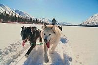 Closeup, dog team / sled dogs with musher, Fish Lake, Yukon Territory, Canada