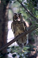Long-eared Owl Asio otus, Owl perched on branch, adult