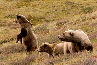 Grizzly bears, Ursus arctos horribilis, female and adolescent bears, Denali National Park, Alaska, USA