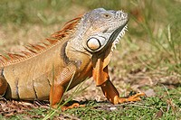 Iguana in Florida, USA