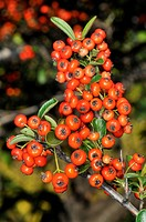 Firethorn (Pyracantha sp.) pomes. Osseja, Languedoc-Roussillon, Pyrenees Orientales, France