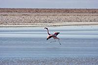 Andean Flamingo (Phoenicopterus andinus), Reserva Nacional los Flamencos, Atacama Desert, Chile, South America