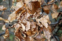 Autumnal, dried leaves of beech tree fagus sylvatica fagaceae