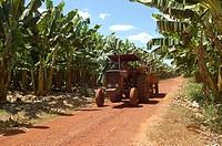 Plantation of Banana, Palmas, Tocantins, Brazil