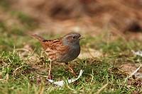Dunnock or Hedge Sparrow or Hedge Warbler (Prunella modularis)