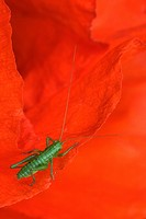 Field- or Red Poppy (Papaver rhoeas) with Oak Bush Cricket or Drumming Katydid (Meconema thalassinum) Ingolstadt, Bavaria, Germany, Europe