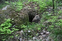 Short-eared Owl (Asio flammeus) in front of its nesting cave, Norway, Europe