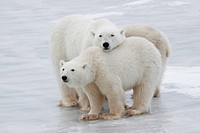 Polar Bear Ursus maritimus family, Churchill, Manitoba, Canada