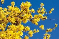 Forsythia shrub (Forsythia)