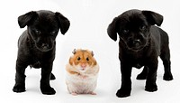 Half-breed puppies with golden hamster (Mesocricetus auratus)