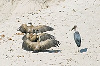 Cape Griffon or Cape Vulture Gyps coprotheres and Marabou Stork Leptoptilos crumeniferus in the dry riverbed, Boteti River, Khumaga, Makgadikgadi Pans...