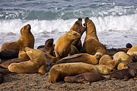 Southern Sea Lion colony (Otaria flavescens), peninsula Valdes, Patagonia, east coast, Atlantic Ozean, Argentina, South America