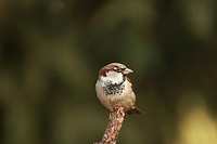 House Sparrow or English Sparrow (Passer domesticus)