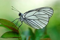 Black-veined White Butterfly Aporia crataegi perched on a leaf