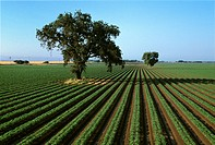 Agriculture _ Early growth processing tomato field with large Valley Oak trees / CA _ Sacramento Valley