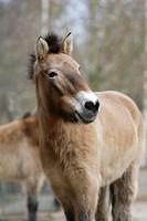 Przewalski's Horse or Mongolian Wild Horse (Equus ferus przewalskii), Gera Zoo, Thuringia, Germany, Europe