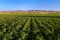 Agriculture _ Maturing Russet potato field at the post_bloom stage in early evening light / WA _ Kittitas Co