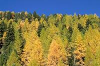 European Larch trees (Larix decidua), Innergschloess, Hohe Tauern National Park, Tirol, Austria, Europe