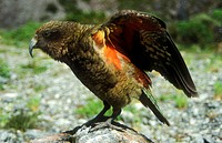 Kea with colourful underwing plumage Arthur´s Pass National Park New Zealand
