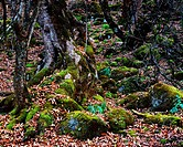 Massive roots and ground covering in the forest beside Xinhua Lake, Weixi Lisu Autonomous County, DiQing Tibetan Autonomous Prefecture, Yunnan Provinc...
