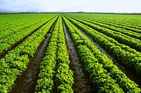 Agriculture _ Field of mature green leaf lettuce / CA _ Salinas Valley