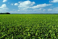 Agriculture _ A large field of mature soybeans beginning to dry down prior to harvest stage / MS.