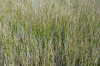 Grasses growing on a meadow, Western Australia, Australia