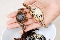 Freshwater crabs Thailand