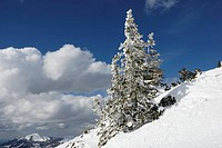 Snow-covered Norway Spruce (Picea abies), Chiemgau, Bavarian Alps, Bavaria, Germany