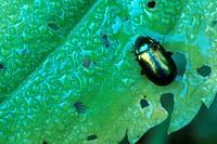 Dead-nettle Leaf Beetle (Dlochrysa fastuosa)