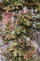 Tree Lungwort or Lung Lichen (Lobaria pulmonaria), Grosser Ahornboden, Karwendel Range, Tirol, Austria
