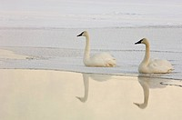 Trumpeter swans Cygnus buccinator resting on the edge of ice, Junction Creek, Sudbury, Ontario