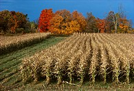 Agriculture _ Mature, partially harvested grain corn field with Autumn colors in background / MN