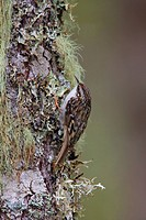Brown creeper Certhia americana perched on a mossy tree in Victoria, Vancouver Island, British Columbia, Canada