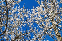 Agriculture _ Almond trees in full bloom in late winter / Northern CA _ Tehama County.