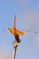 Kirby's Dropwing Dragonfly (Trithemis kirbyi) perched on a branch, Namibia, Africa