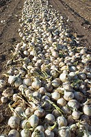 Agriculture _ White onions that have been dug up are curing in the field prior to harvest / Northern CA _ Tulelake