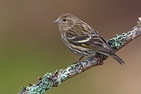 Pine siskin Carduelis pinus perched on a branch in Victoria, Vancouver Island, British Columbia, Canada