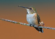 Female Rufous hummingbird Selasphorus rufus on perch, Victoria, Vancouver Island, British Columbia, Canada