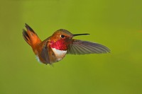 Male Rufous hummingbird Selasphorus rufus in flight, Victoria, Vancouver Island, British Columbia, Canada