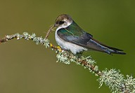 Female violet_green Swallow Tachycineta thalassina on perch with nesting material, Victoria, Vancouver Island, British Columbia, Canada
